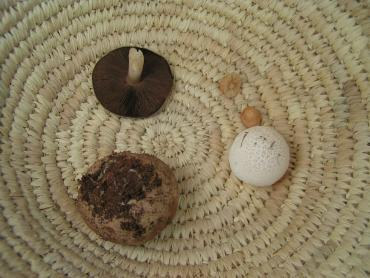 Oct 21st 07 Catch. Agaricus campestris, Marasmius oreades, and a few puffballs.