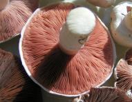Pink gills of an Agaricus campestris