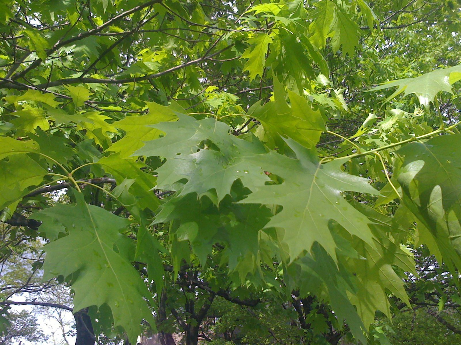 quercus shumardii the thing that is steve