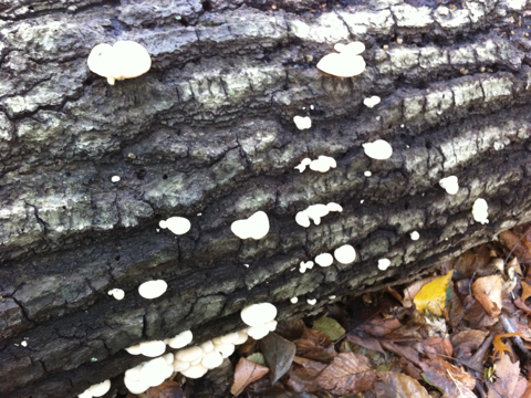Mushrooms of Vancouver - Tremella mesenterica